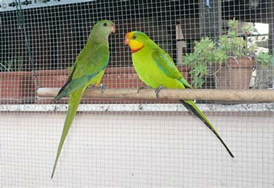Una coppia di esemplari di Polytelis